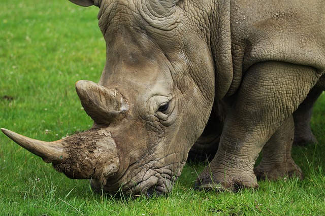 Rhino Image by Kevsphotos from Pixabay